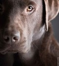 Hund-Labrador-Galerie-002