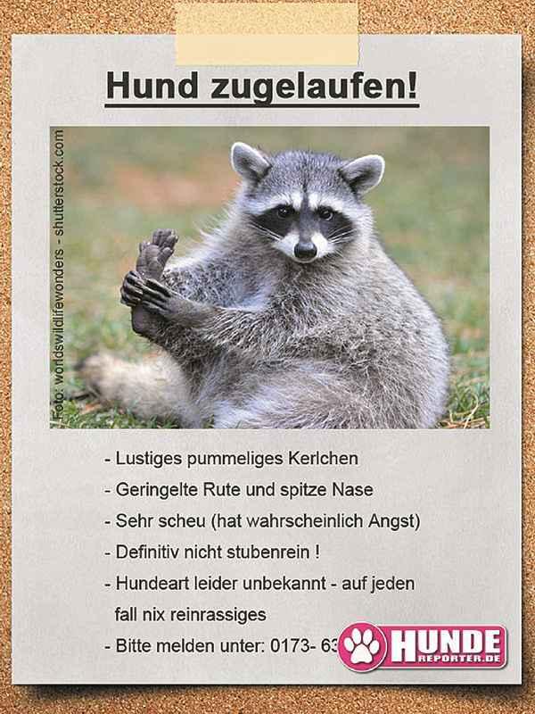 Waschbär1