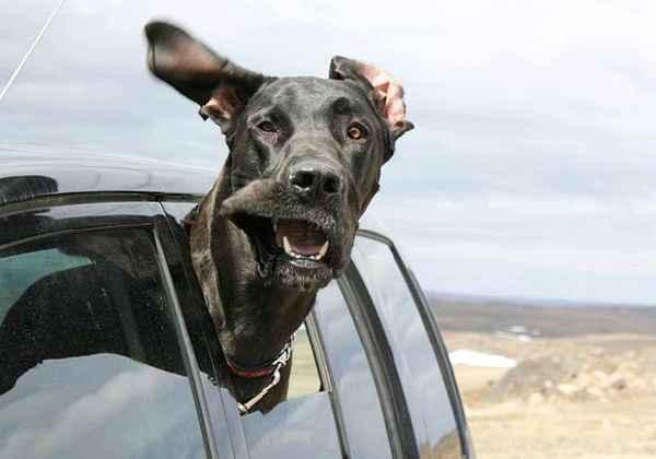 hund-auto-fahren-wind-lustig-008