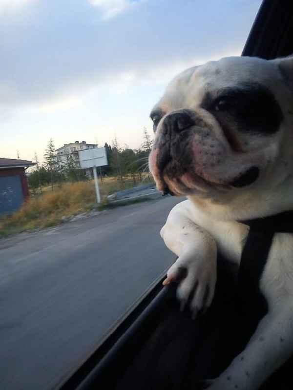 hund-auto-fahren-wind-lustig-014