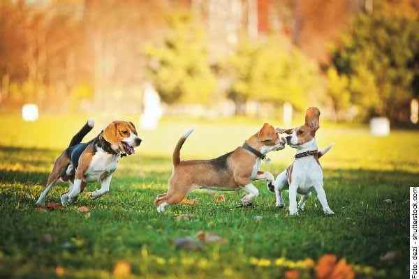 hund-beagle-galerie-001
