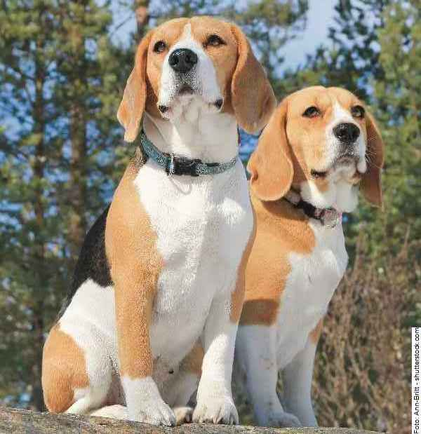hund-beagle-galerie-003