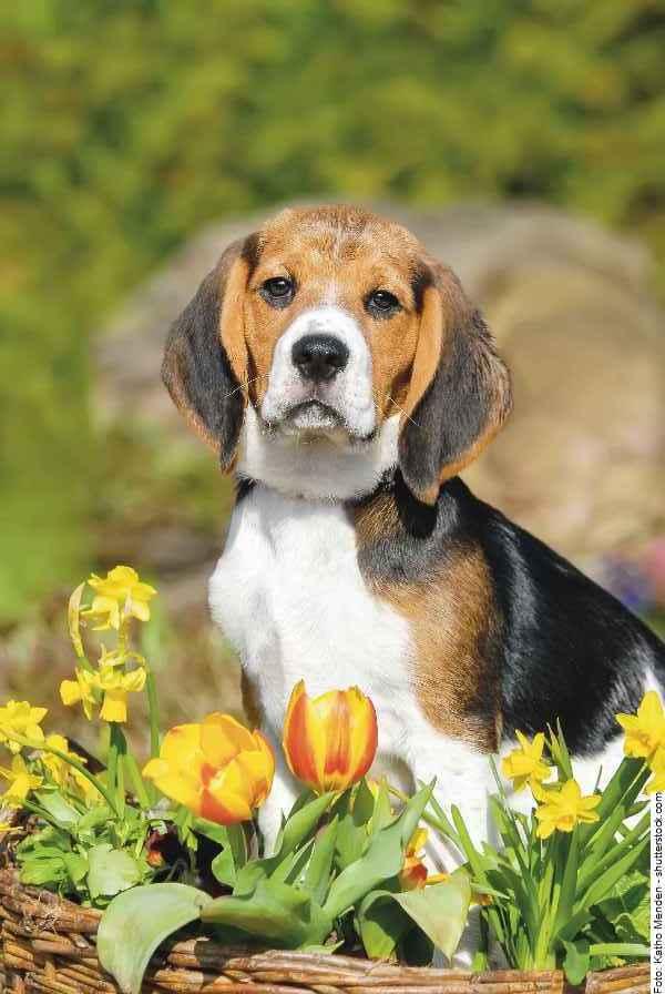hund-beagle-galerie-009