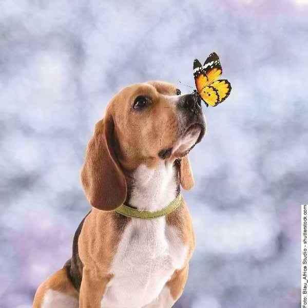 hund-beagle-galerie-010