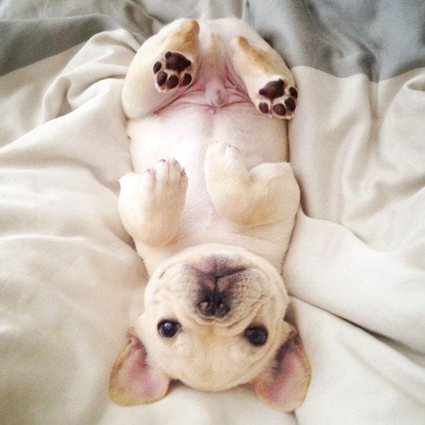 hund-bulldoge-niedlich-narkolepsie-millo-12