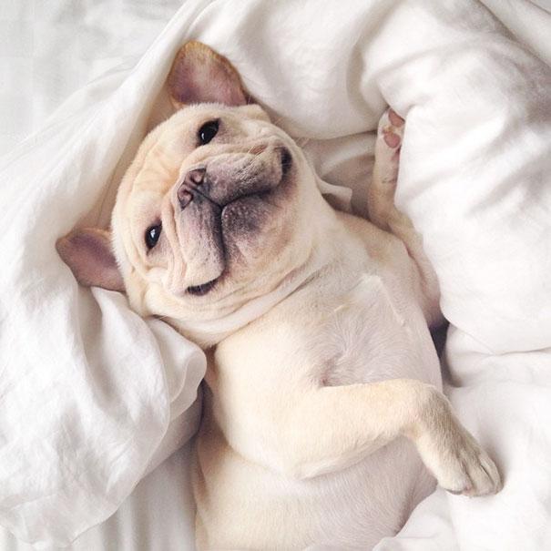 hund-bulldoge-niedlich-narkolepsie-milo-02