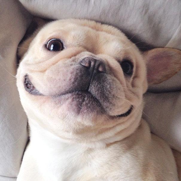 hund-bulldoge-niedlich-narkolepsie-milo-06