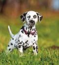 hund-dalmatiner-galerie-001