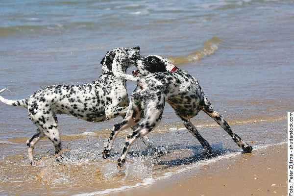 hund-dalmatiner-galerie-002