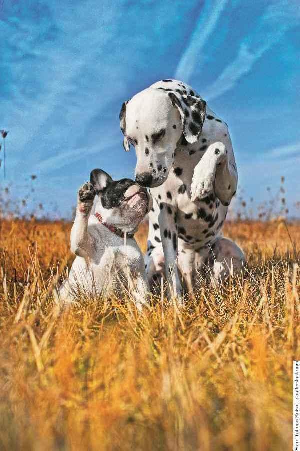 hund-dalmatiner-galerie-003