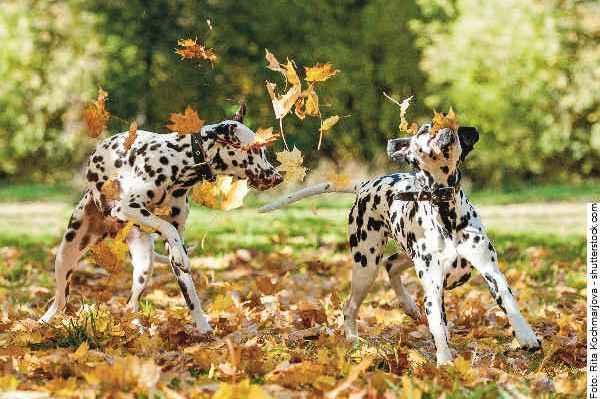 hund-dalmatiner-galerie-006