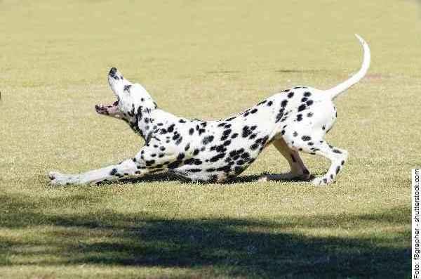 hund-dalmatiner-galerie-007