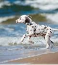 hund-dalmatiner-galerie-019