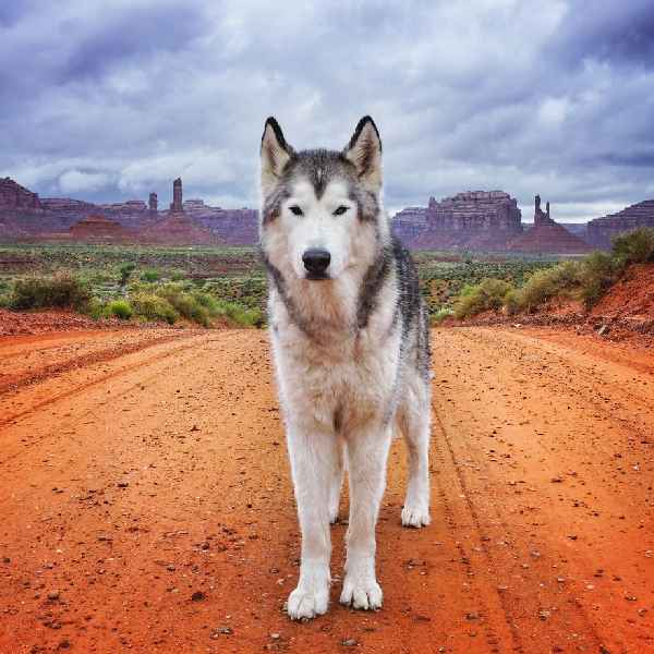 hund-freiheit-Loki-the-Wolfdog-006