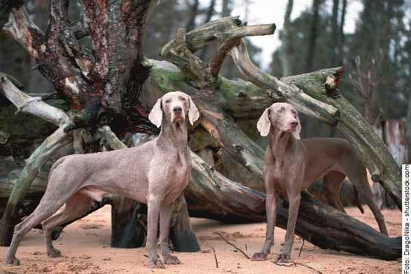 hund-weimaraner-galerie-reporter-001