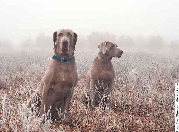 hund-weimaraner-galerie-reporter-002