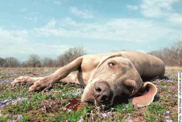 hund-weimaraner-galerie-reporter-007