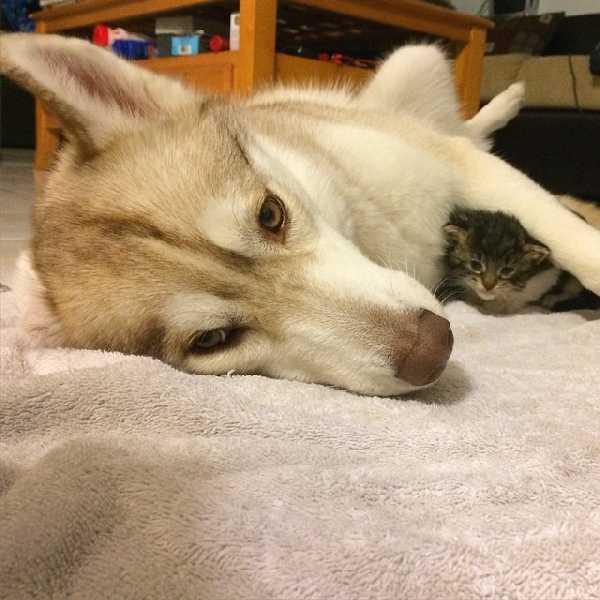 husky-hund-rettet-katze-005