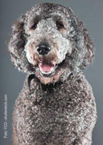 Hybridhunde - Der Labradoodle