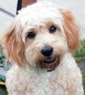 Hybridhunde - Der Cavachon