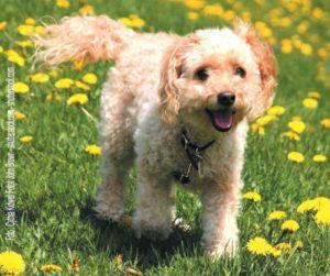 Hybridhunde - Der Cockapoo