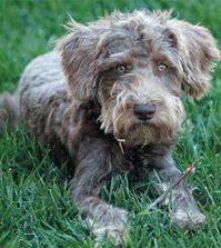 Hybridhunde - Der Schnoodle
