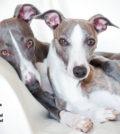 Der Whippet - Ein Artikel aus dem Hundereporter Magazin Ausgabe 2