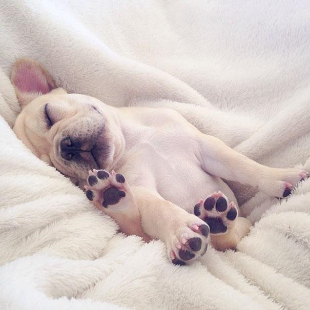 hund-bulldoge-niedlich-narkolepsie-millo-11