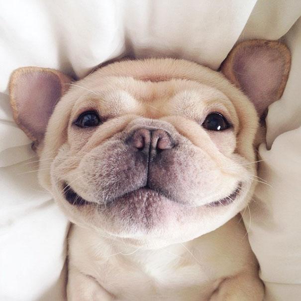 hund-bulldoge-niedlich-narkolepsie-milo-01