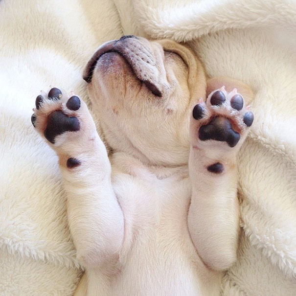 hund-bulldoge-niedlich-narkolepsie-milo-04