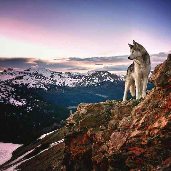 hund-freiheit-Loki-the-Wolfdog-002