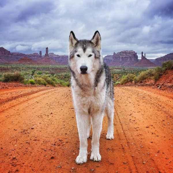 hund-freiheit-Loki-the-Wolfdog-006