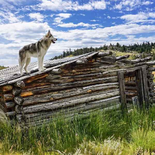 hund-freiheit-Loki-the-Wolfdog-010