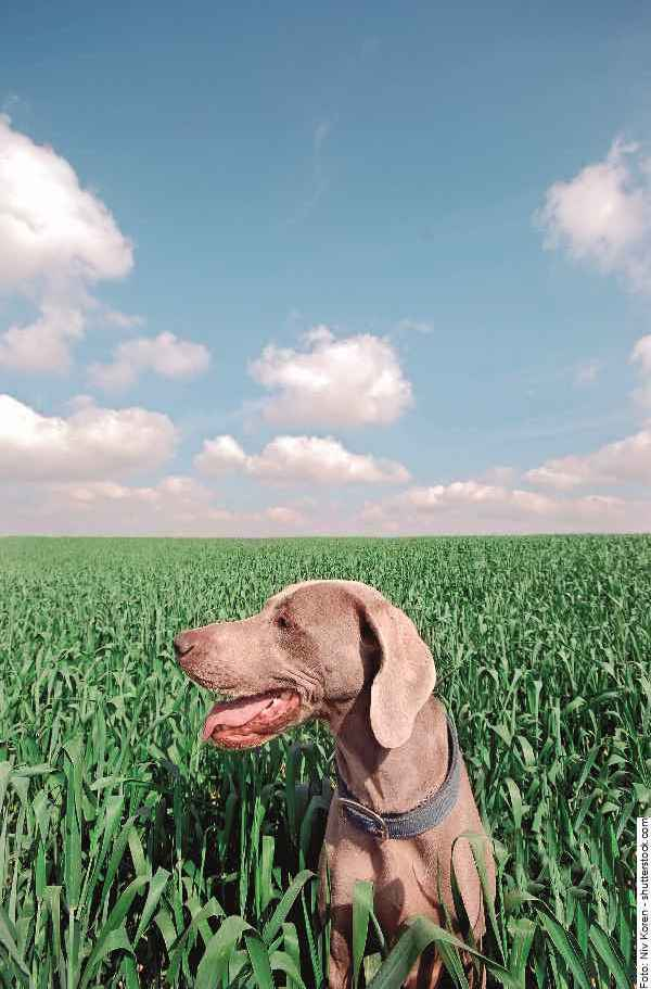 hund-weimaraner-galerie-reporter-005