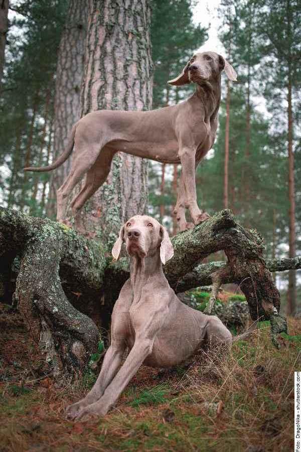 hund-weimaraner-galerie-reporter-010