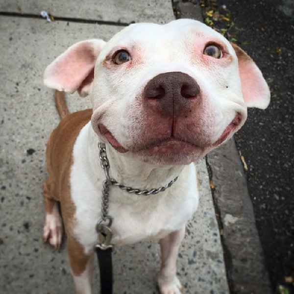 smiling-dog-stray-pit-bull-adopted-brinks-10